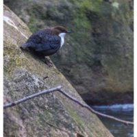 koskikara-whitethroateddipper-vesipappi-longinoja-helsinki-winter-talvi-birdlifefinland-birdlife-bir-2