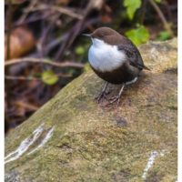 koskikara-whitethroateddipper-vesipappi-longinoja-helsinki-winter-talvi-birdlifefinland-birdlife-bir-3