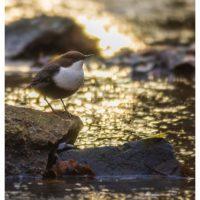 koskikara-whitethroateddipper-vesipappi-longinoja-helsinki-winter-talvi-birdlifefinland-birdlife-bir-4