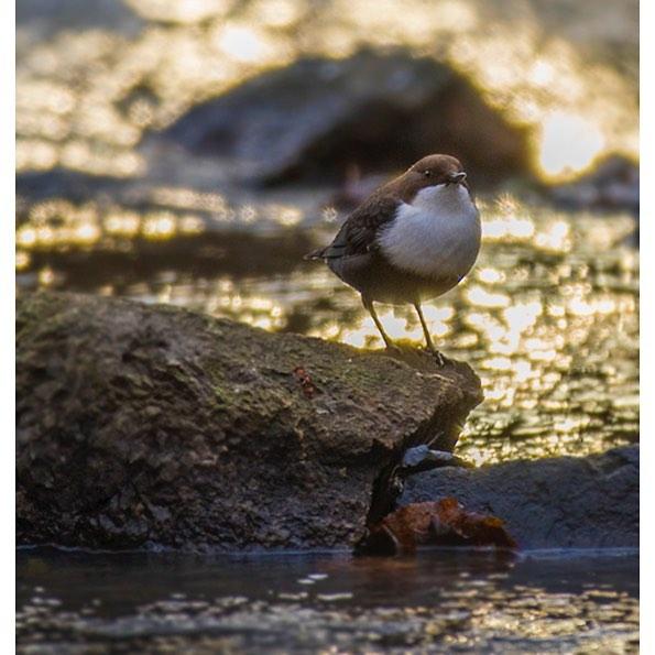 koskikara-whitethroateddipper-vesipappi-longinoja-helsinki-winter-talvi-birdlifefinland-birdlife-bir-5