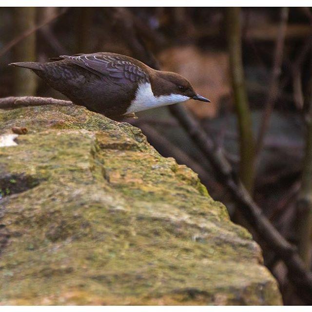 koskikara-whitethroateddipper-vesipappi-longinoja-helsinki-winter-talvi-birdlifefinland-birdlife-bir-6