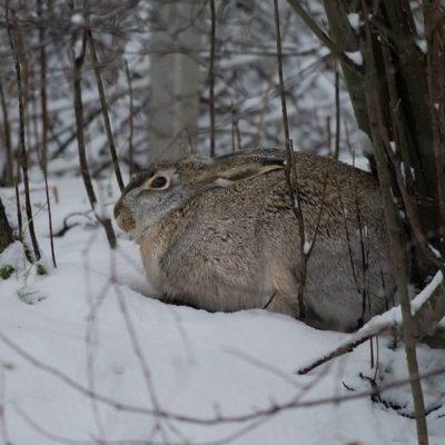Lepus europaeus lepää