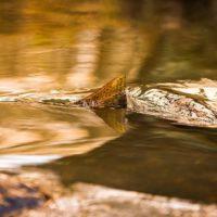 taimen-meritaimen-trout-browntrout-seatrout-longinoja-vantaanjoki-river-helsinki-finland-fish-photog