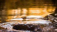 taimen-meritaimen-trout-browntrout-seatrout-longinoja-vantaanjoki-river-helsinki-finland-visitfinlan-1