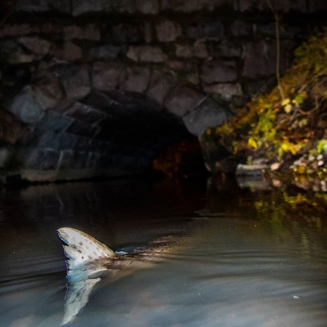 taimen-meritaimen-trout-browntrout-seatrout-longinoja-vantaanjoki-river-helsinki-finland-visitfinlan-3