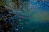 taimen-seatrout-longinojasyksy-longinoja-kuteminenkuuluukaikille-syksy-helsinki-nature