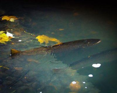 Trouts in Longinoja river, in Helsinki.