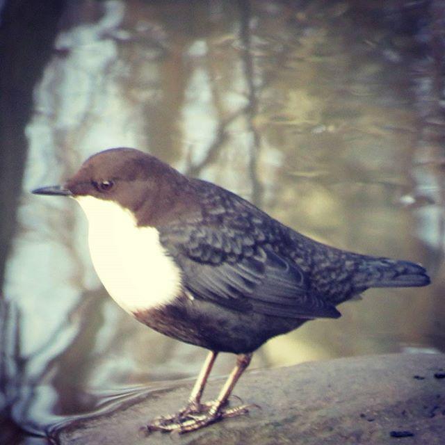 koskikara-stromstare-dipper-cincluscinclus-suomenlinnut-lintu-lintukuva-bird-birdlife-birdlifesuomi-