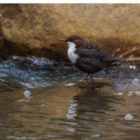koskikara-vesipappi-whitethroateddipper-longinoja-helsinki-winter-talvi-birdlifefinland-birdlife-bir-1