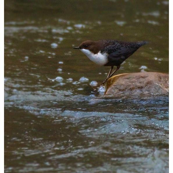 koskikara-vesipappi-whitethroateddipper-longinoja-helsinki-winter-talvi-birdlifefinland-birdlife-bir