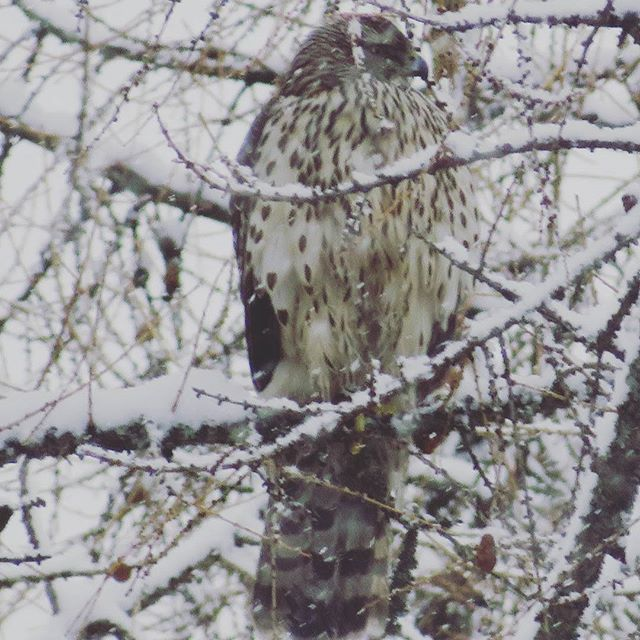 kanahaukka-duvhok-goshawk-accipitergentilis-haukka-suomenlinnut-lintu-lintukuva-birdlife-bird-birdli