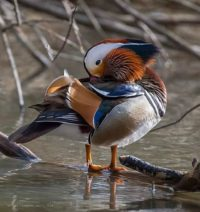 A beautiful male mandarin duck visited in Helsinki for a few days. It really looks amazing!