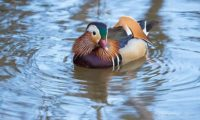 Another photo of this beautiful bird. Mandarin duck in Helsinki few days ago.