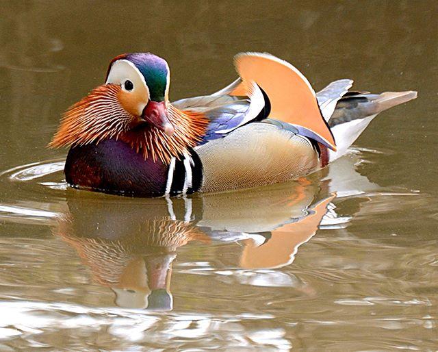 #nature #luonto #lintukuvaus #birdsofinstagram #yleluonto #100lintulajia2018 #mandarinduck #mandarinand #aixgalericulata