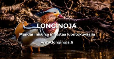 longinoja-mandariinisorsa-miikka-t