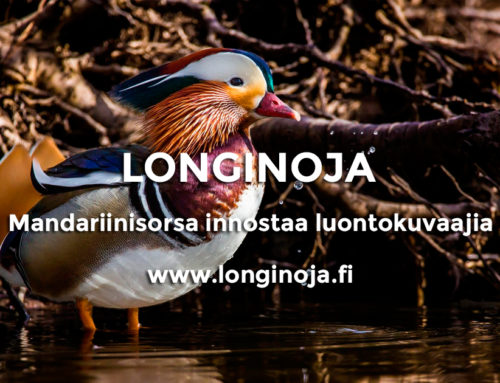 Harvinainen vieras Longinojalla – Mandariinisorsa innostaa luontokuvaajia