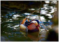 longinoja-mandarinduck-spring-beautifulbird-naturephotography
