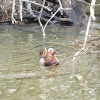 mandariinisorsa-mandarinand-mandarinduck-suomenlinnut-lintukuva-lintukuvaus-linturetki-linturetkella