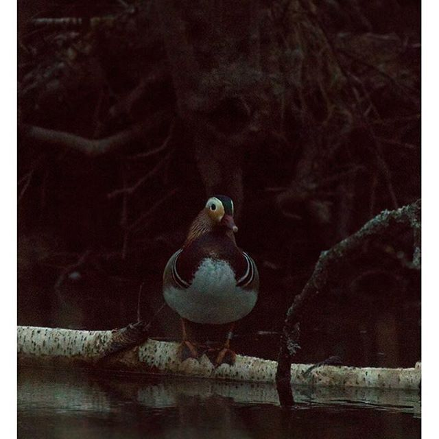 mandariinisorsa-mandarineduck-europeanhare-helsinki-spring-kevat-birdlifefinland-birdlife-birdphotog