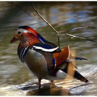 mandarinduck-longinoja-naturephotography-spring-colours