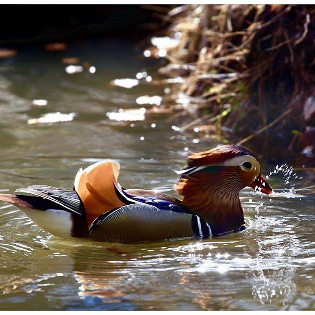 mandarinduck-naturephotography-longinoja-helsinki-spring
