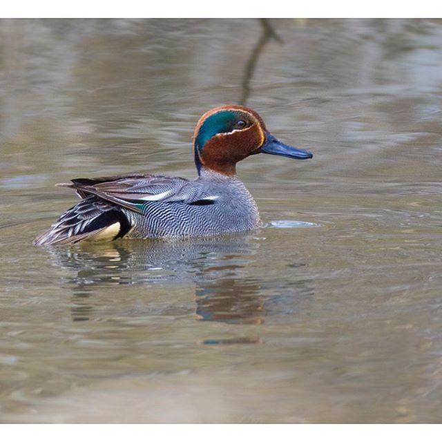 tavi-commonteal-helsinki-spring-kevat-birdlifefinland-birdlife-birdphotography-nature-naturephoto-na