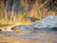 Common sandpiper and small brown trout.
