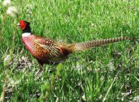 fasaani-fasan-pheasant-phasianuscolchicus-suomenlinnut-lintukuva-linturetki-linturetkella-lintubonga
