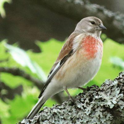 hemppo-hampling-linnet-cardueliscannabina-suomenlinnut-lintukuva-linturetki-linturetkella-lintubonga