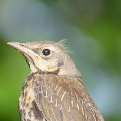 Pakolliset kuvat linnunpoikasista otettu.