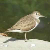 rantasipi-drillsnappa-commonsandpiper-actitishypoleucos-suomenlinnut-suomen_linnut-lintukuva-linture