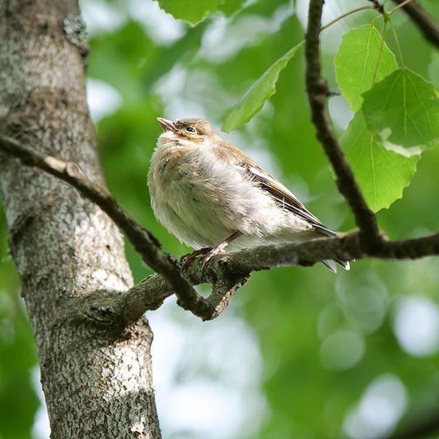 Alkaa olla linnunpoikaset jo melkein täysikasvuisia.