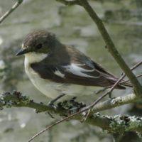 kirjosieppo-svartvitflugsnappare-piedflycatcher-ficedulahypoleuca-suomenlinnut-lintubongaus-linturet