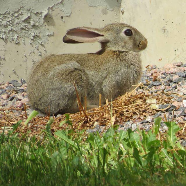 lepuseuropaeus-leporidae-citykani-rusakko-pupu-suomenluonto-suomen_luonto-luontokuvat-luontoon-luont