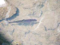 Taimen. Puro ja sen asukkkaat jatkavat eloa vastoinkäymisistä huolimatta. Savelassa useita hyvinvoivia kaloja.