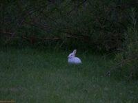 White and brown. Iltalenkillä loikki rusakko ja valkoinen kani.