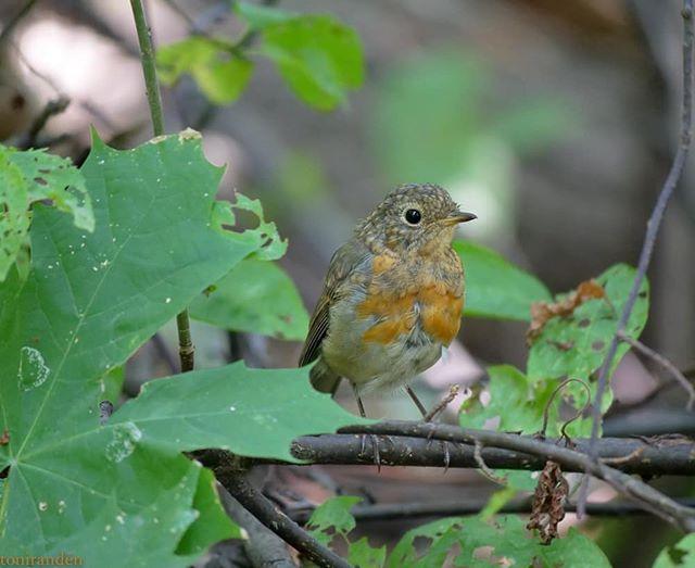 bird-birdphotography-birdlovers-lintu-helsinki-longinoja-luonto-lumixgh5-luontokuva-nofilter-natur-n