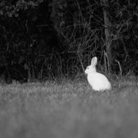 bunny-rabbit-white-citykani-bw-blackandwhitephotography-blackandwhite-night-helsinki-longinoja-finla