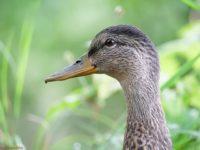 duck-longinoja-helsinki-finnishnature-finland-ducks-suomi-suomenluonto-luonto-luontokuva-instabird-i