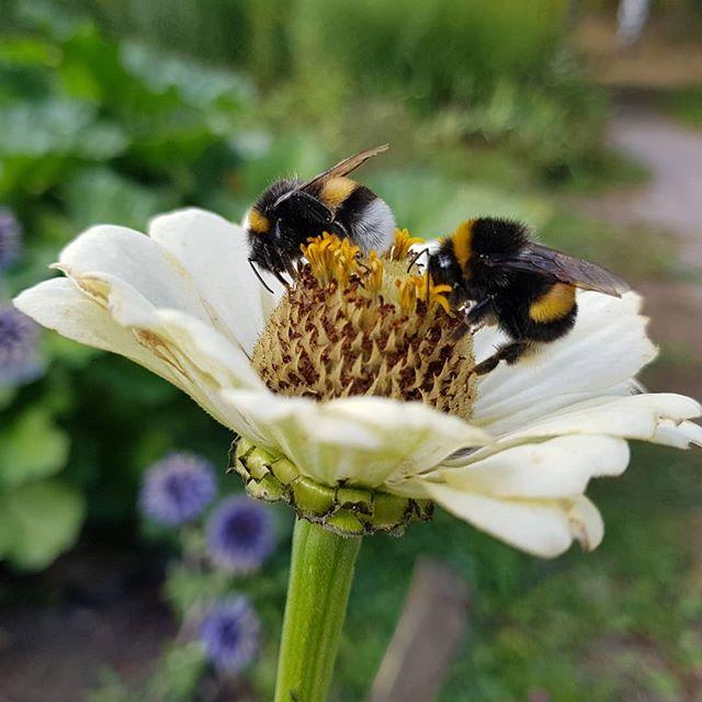 Kukkia ja mehiläisiä.