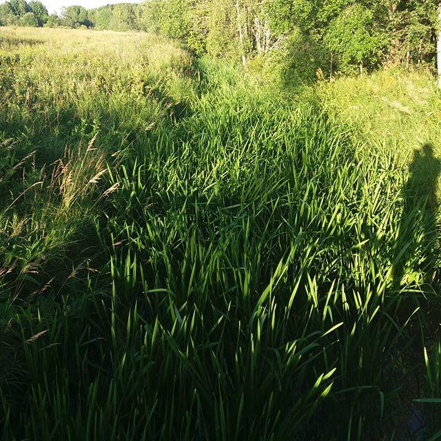 longinoja-heinikkoa-kasvaa-niin-paljon-ettei-paljon-vesi-virtaa