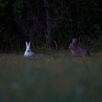 Purolle on jäänyt asumaan hauska poppoo citykaneja. Perheeseen kuuluu yksi valkoinen, yksi puoliksi valkoinen ja 3 ruskeaa kania. Poppoo leikkii iltahämärässä Savelan nurmikoilla.