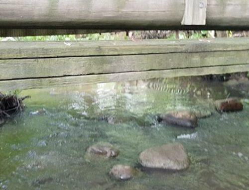 Sateiden myötä on taas vettä purossa. Sosiaalinen sorsaperhe kävi moikkaamassa.