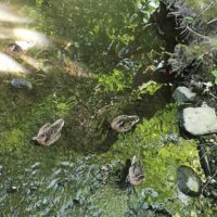 sorsat-ducks-longinoja-kotipuro