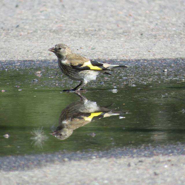 tikli-steglits-goldfinch-cardueliscarduelis-carduelis-suomenlinnut-linturetki-linturetkella-lintukuv