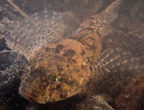 Kivisimppu (Cottus gobio)