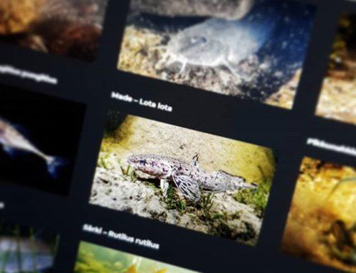 Pikkasen tulee siistiä matskua Longinojan luontopolun digisisältöön. @vedenalainen_suomi Pekka Tuuri antoi käyttöön kalalajeista vedenalaisvalokuvia. Mitä sitä muuta tekis lauantaiaamuna kuudelta :)