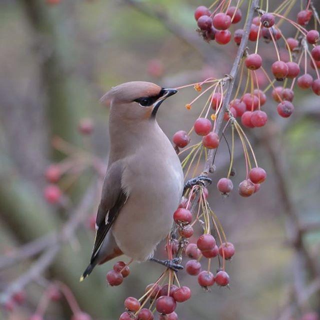 bohemianwaxwing-birds-birdlovers-instabird-instanature-instaanimal-forest-luontokuvaus-luonto-natura