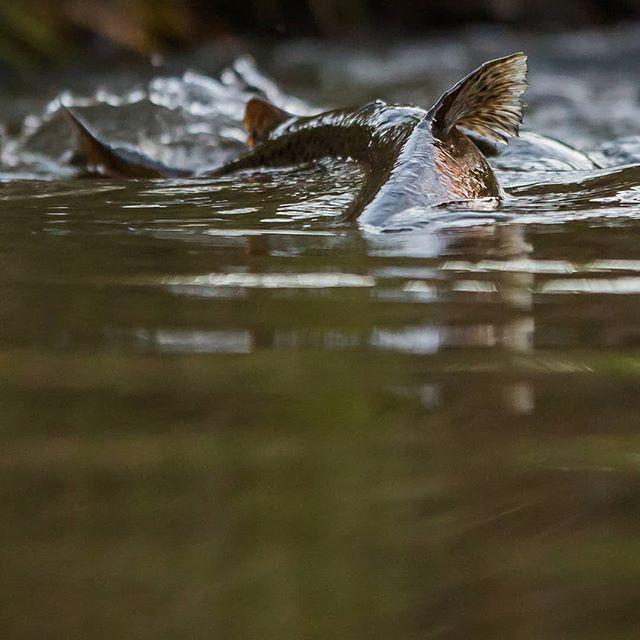 Brown trout rising upstream @longinoja Helsinki, Finland . .