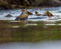 Browntrouts spawning @longinoja Helsinki, Finland . .